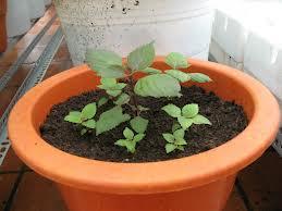 Cách trồng tía tô