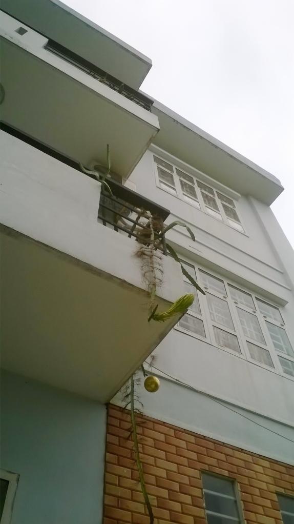 Saigon Garden_thanh long trong ban cong 1